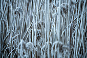 Reeds covered with hoarfrost on the shores of the Kochelsee; Bavaria; Germany.