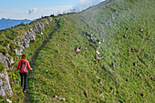 Woman hiking goes on path through pack of ibexes, Augstmatthorn, Emmental Alps, Bern, Switzerland