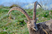 Ibex chews grass, Augstmatthorn, Emmental Alps, Bern, Switzerland