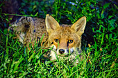 Fox crouches in the grass and looks at viewer, Valais, Switzerland
