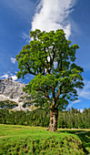 Sycamore maple with Karwendel in the background, Kleiner Ahornboden, Karwendel, Karwendel Nature Park, Tyrol, Austria