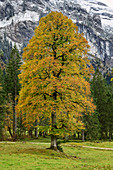 Beech trees in autumn leaves, Wankerfleck, Ammergau Alps, Ammer Mountains, Swabia, Bavaria, Germany