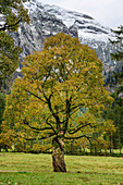 Sycamore maple in autumn leaves, Wankerfleck, Ammergau Alps, Ammer Mountains, Swabia, Bavaria, Germany