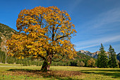 Sycamore maple in autumn leaves, Rissbachtal, Karwendel, Karwendel Nature Park, Tyrol, Austria