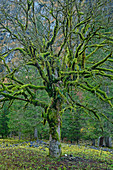 Heavily mossy sycamore maple in late leaves, Rissbachtal, Karwendel, Karwendel Nature Park, Tyrol, Austria