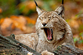 Lynx yawns, Lynx, Bad Schandau, Saxon Switzerland National Park, Saxon Switzerland, Elbe Sandstone, Saxony, Germany