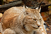 Lynx attentively observes the surroundings, Lynx, Bad Schandau, Saxon Switzerland National Park, Saxon Switzerland, Elbe Sandstone, Saxony, Germany