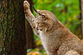 Lynx scratches on tree, Lynx, Bad Schandau, Saxon Switzerland National Park, Saxon Switzerland, Elbe Sandstone, Saxony, Germany