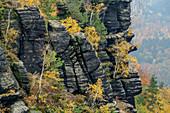 Felsen mit herbstlich verfärbten Birken, Lilienstein, Nationalpark Sächsische Schweiz, Sächsische Schweiz, Elbsandstein, Sachsen, Deutschland