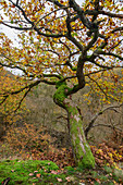 Inclined oak in autumn leaves, Bodetal, Harz, Saxony-Anhalt, Germany
