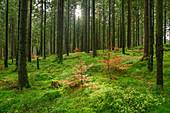 Sun rays shine in spruce forest, Bodetal, Harz, Saxony-Anhalt, Germany
