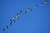 Flying cranes, bird migration, Hainich National Park, Thuringia, Germany