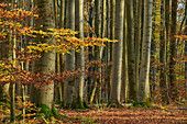 Autumn beech forest, Hainich National Park, Thuringia, Germany