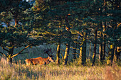 Capital deer in the sunshine, Mecklenburg-Western Pomerania, Baltic Sea