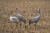 Crane family on corn stubble field, Germany, Brandenburg, Linum