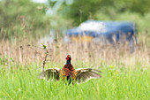 Pheasant in courtship call with swinging wings, Germany, Berlin, Schoenefeld