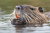 Nutria close-ups in the water, Germany, Bandenburg, Spreewald,
