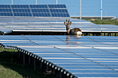 Roe buck in the solar park, Germany, Berlin,