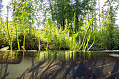 Aquatic plants in the rivers of the Spreewald, Germany, Brandenburg