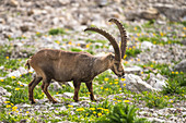 Alpine ibex in the arnica field of the Alps, Germany, Bavaria, Oberallgäu