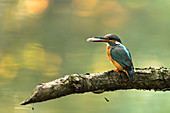 Kingfisher sitting on branch with a fish catch, Germany, Brandenburg, Spreewald