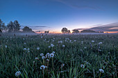 Dandelion meadow at dawn and fog, Germany, Brandenburg, Spreewald