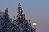 The full moon shines in front of snow-covered trees in the morning, Storuman, Lapland, Sweden