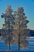 Two birch trees full of hoarfrost in winter by the lake, Slagnäs, Lapland, Sweden