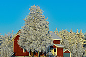 Typical red Swedish house with snow-covered trees in deep winter, Mellanström, Lapland, Sweden
