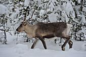 Reindeer in winter in the snowy forest, Utterbacken, Lapland, Sweden