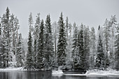 Snow-covered trees on the riverside at Avaträsk, Västerbottens Län, Sweden
