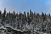 Snow-covered fir trees on a rock, Nybodarna, Jämtland, Sweden