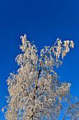 Birch full of hoar frost against a deep blue winter sky, near Lillögda, Västerbottens Län, Sweden