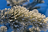 Branch of a pine covered by hoarfrost in the sunlight, Tallberg, Västerbottens Län, Sweden