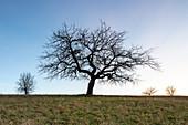 Obstbaum bei Oberscheinfeld, Neustadt an der Aisch, Mittelfranken, Franken, Bayern, Deutschland, Europa
