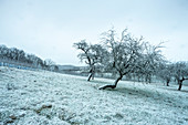 Fruit trees near Krassolzheim, Sugenheim, Neustadt an der Aisch, Middle Franconia, Franconia, Bavaria Germany, Europe