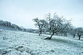 Obstbäume bei Krassolzheim, Sugenheim, Neustadt an der Aisch, Mittelfranken, Franken, Bayern Deutschland, Europa