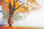 Chestnut with colorful autumn leaves, avenue in the fog, Bernried, Bavaria, Germany