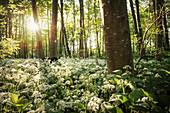 blühender Bärlauch in den Auenwälder an der Donau bei Oberelchingen, Landkreis Neu-Ulm, Bayern, Deutschland