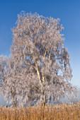 Birke im Kochelmoos bedeckt mit Raureif, Kochel am See, Oberbayern, Bayern, Deutschland, Europa