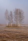 Grove of trees in Kochelmoos covered with hoarfrost, Kochel am See, Upper Bavaria, Bavaria, Germany, Europe