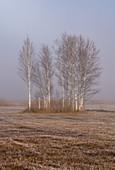 Baumgruppe im Kochelmoos bedeckt mit Raureif, Kochel am See, Oberbayern, Bayern, Deutschland, Europa