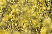 Catkins in the sunlight, Bavaria, Germany, Europe