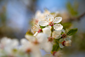 Apple blossom in the sunlight, Bavaria, Germany, Europe