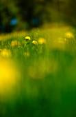 Dandelions in a meadow, Bavaria, Germany, Europe