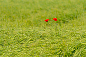 Poppies in the wheat field, Bavaria, Germany, Europe
