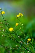 Blüte von Johanniskraut im Sommer, Bayern, Deutschland