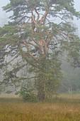 Ancient pine in the bog mist in the bog, Weilheim, Upper Bavaria, Bavaria, Germany, Europe