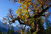 Sycamore maple on the Kleiner Ahornboden in golden autumn dress, Hinterriß, Tyrol, Austria, Germany, Europe