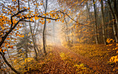 Autumn in the beech forest, Bavaria, Germany, Europe
